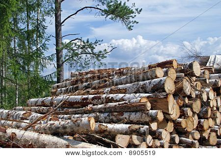 Birch Wood Logs At The Edge Of Forest