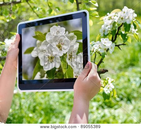 Female hans snapshot blossoming cherry tree on  tablet pc. Romantic style.