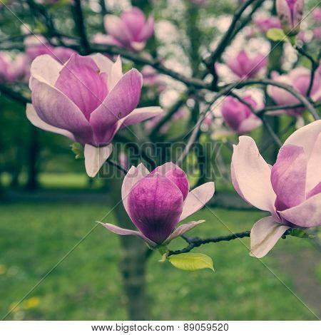 Pink Magnolia Tree Blossom Flower