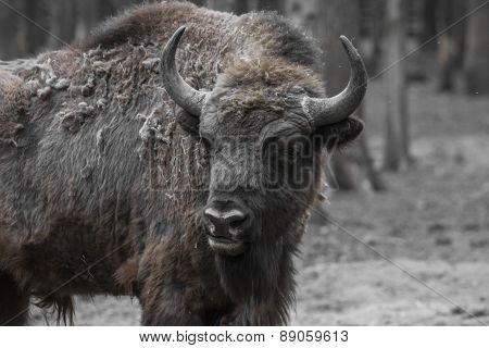 Wisent, European Bison, Poland