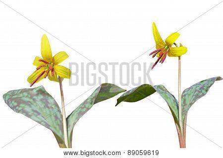 Trout Lily Plants