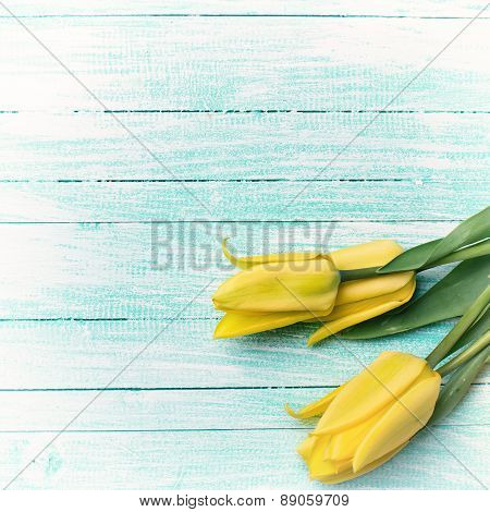 Background With Fresh  Yellow Tulips