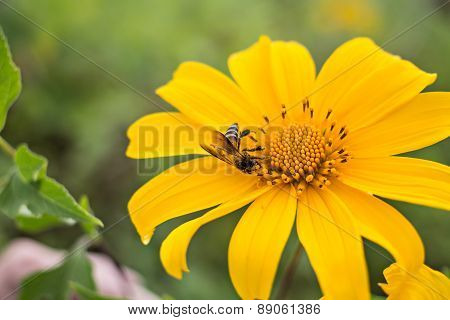 Yellow Chrysanthemums With A Bee Focus On Bee