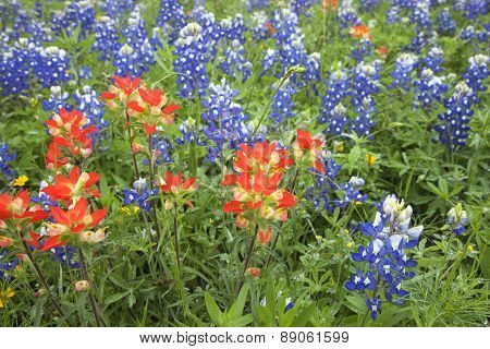 Low Angle View Of Indian Paintbrush And Bluebonnet Wildflowers In Texas Field