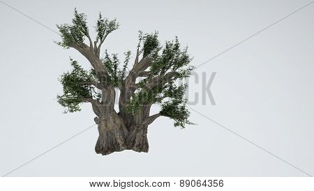 baobab isolated on white