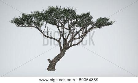 acacia isoated