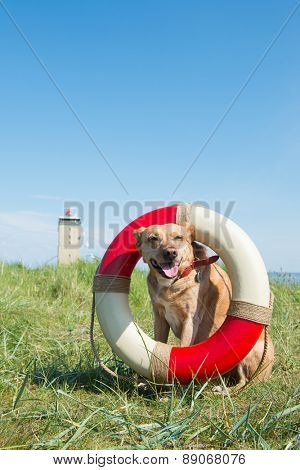 Rescue dog at the Dutch coast on Terschelling