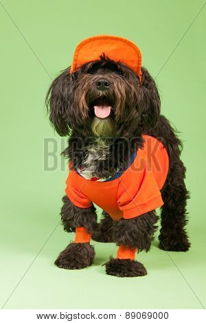 Little dog as Soccer fan from the Dutch team