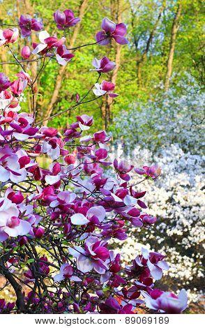 blooming magnolia tree