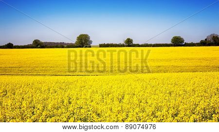 A panorama of a field of yellow rape or canola flowers, grown for the rapeseed oil crop. Late spring in Hampshire, UK