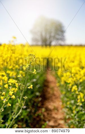 A path leads to an old tree in a field of yellow rape or canola flowers. Selective focus on flower in foreground, with defocused tree in background bathed in sunlight.