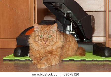 Cat Ginger Athlete