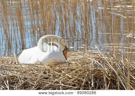 Swan Protecting The Nest