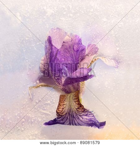 Frozen   Flower Of  Iris