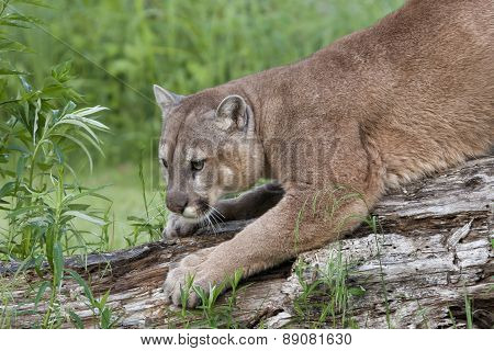 Cougar Sharpening Claws