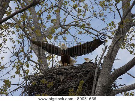 Eagle Landing on Nest