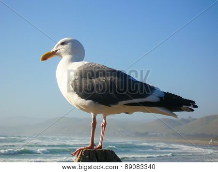 Gull On The Pacific Ocean