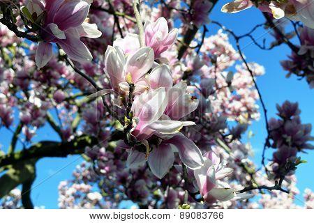 Spring Flowers. Pink Magnolia Flowers.