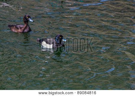 Wild Duck In Their Natural Habitat.