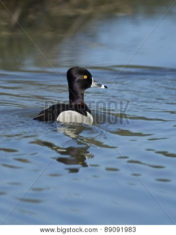 Ring Necked Duck In Water.