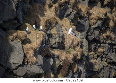 herring gulls nests on the cliffs off Dyrholaey, Iceland