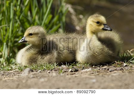 Two Resting Goslings.