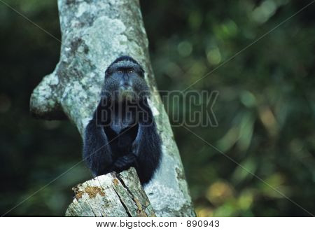 Blue Monkey Juvenile