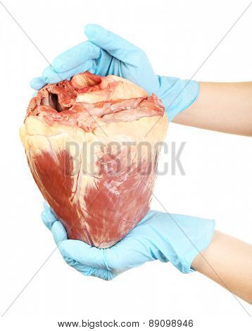 Hands holding raw animal heart isolated on white