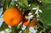 stock photo of tangerine-tree  - Ripe tangerines and flower on a tree close - JPG