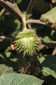 stock photo of datura  - jimson weed  - JPG