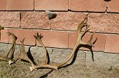 foto of antlers  - Old dry deer antlers lean against a wall in the courtyard - JPG