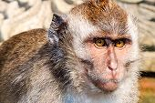 picture of tail  - Balinese long-tailed Macaque monkey standing on a temple
