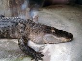image of zoo  - An alligator resting at the Brookfield Zoo in Brookfield, Illinois