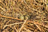 stock photo of bird egg  - Birds nest with eggs under natural conditions in early spring - JPG