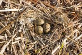 image of bird egg  - Birds nest with eggs under natural conditions in early spring - JPG