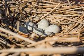 stock photo of bird-nest  - Birds nest with eggs in the wild - JPG