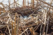 image of bird-nest  - Birds nest with eggs in the wild - JPG