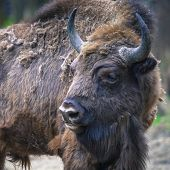 image of aurochs  - Wisent European bison in Poland on the nature - JPG