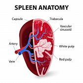 picture of hemorrhage  - Spleen - JPG