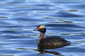 stock photo of grebe  - A side view of a pretty Horned Grebe in Hauser Lake Idaho - JPG
