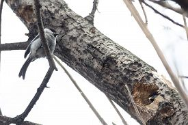 stock photo of chickadee  - Chickadee build nests in the hollow of an old tree - JPG