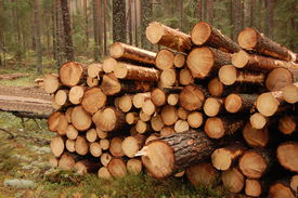 picture of cutting trees  - bunch of felled and cut trees at a logging site in an autumn forest - JPG