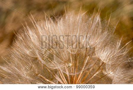 Dandelion Inside,macro Photography