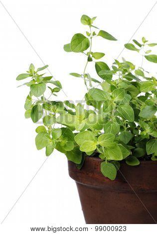 Oregano plant in a clay pot. Short depth of field.