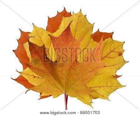 Colorful Maple leaves in Fall