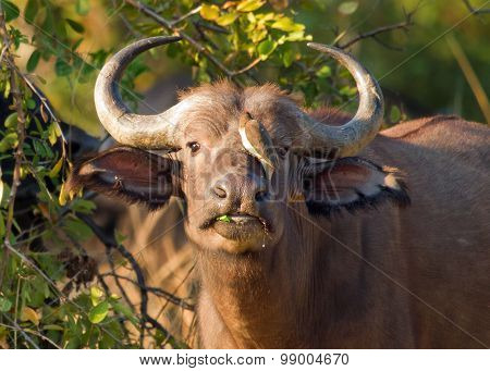 A lone buffalo with an oxpecker perched on it's nose