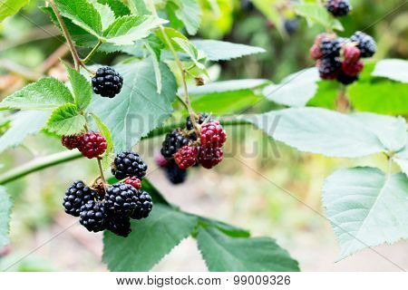 Blackberries On The Branches In The Garden. Soft Focus.
