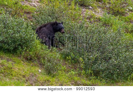 Black Bear, Berry Foraging