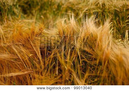 Soft Warm Barley Crop Plant Detail