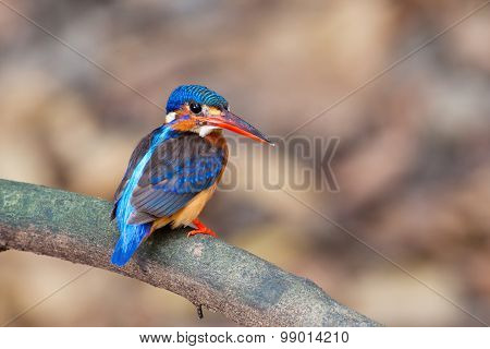 Blue-eared Kingfisher - Female